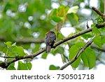 dusky broadbill | Shutterstock . vector #750501718