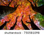 colorful maple trees. | Shutterstock . vector #750581098