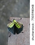 Small photo of The colorful bug is seen around in Thailand during rainy season. When the bug feels is is threatened ,it will make it bigger size than usual.
