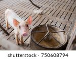 small sick pig at the farm... | Shutterstock . vector #750608794