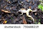 brown bullfrog lie down dead on ... | Shutterstock . vector #750688219