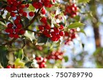 Small photo of Symbol of Christmas in Europe. Closeup of holly acicular beautiful red berries and sharp leaves on a tree in cold autumn weather