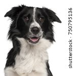 Close up of border collie  8...