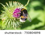 Bumblebee On A Blooming Thistle