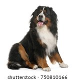 Stock photo bernese mountain dog years old sitting in front of white background 750810166