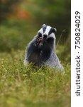 european badger standing | Shutterstock . vector #750824029
