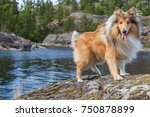 Rough Collie In Karelia