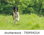 Small photo of Charging Spaniel
