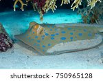 bluespotted stingray hidden in... | Shutterstock . vector #750965128