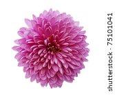 Stock photo pink chrysanthemum flower isolated on white background 75101041
