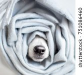 dog wrapped in a scarf. pet... | Shutterstock . vector #751086460