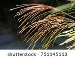Burgundy Tips Of Fountain Grass