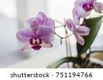 orchidea phalaenopsis bianca e... | Shutterstock . vector #751194766