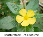 Small photo of Yellow flower with green leat, Damiana