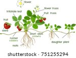 parts of plant. morphology of... | Shutterstock .eps vector #751255294