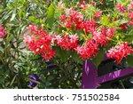 rangoon creeper flowers ... | Shutterstock . vector #751502584