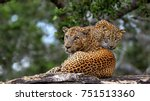 Leopards On A Stone. The Sri...