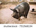 household large black pig in... | Shutterstock . vector #751568134