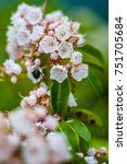 Small photo of Bee and Mountain Laurel Blossom