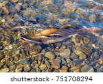 River In The Taiga  Pink Salmo...