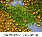 Small photo of Youth and maturity of unicellular algae