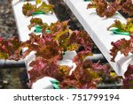 young red oak  green oak ... | Shutterstock . vector #751799194