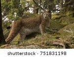 lynx lynx looking   Shutterstock . vector #751831198