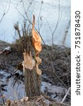 Small photo of Alder tree stump gnawed by beavers.
