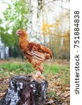 Small photo of Purebred brown chicken on the nature background. Brahma chick outside