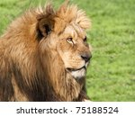Male lion looking his territory - stock photo