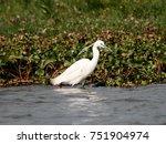 great white egret wading ...   Shutterstock . vector #751904974