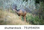 Small photo of Mule deer looking ahead with large ears and beautiful pelage, near Grassi Lakes, Banff National Park, Alberta, Canada.