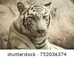 white tiger   white tiger at... | Shutterstock . vector #752036374