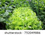 young onion  lettuce  onions ... | Shutterstock . vector #752049886