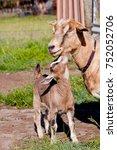 beige brown baby kid goat with... | Shutterstock . vector #752052706