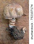 Small photo of rare agaricus porphyrocephalus mushroom on wood