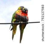 pair  of rainbow lorikeets... | Shutterstock . vector #752127583