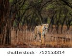 tiger walking in old dry forest.... | Shutterstock . vector #752153314