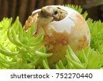 cute baby tortoise hatching on... | Shutterstock . vector #752270440