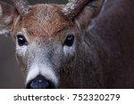 White Tailed Deer Buck Closeup...