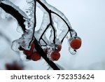 Winter Berries Of Rowan In The...