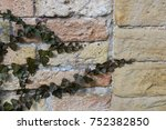 Small photo of ivy (Hedera) on a wall