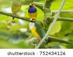 gouldian finch   the lady... | Shutterstock . vector #752434126