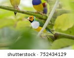 gouldian finch   the lady... | Shutterstock . vector #752434129