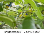 gouldian finch   the lady... | Shutterstock . vector #752434150