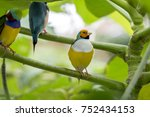 gouldian finch   the lady... | Shutterstock . vector #752434153