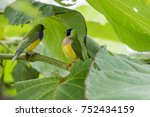 gouldian finch   the lady... | Shutterstock . vector #752434159
