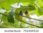 gouldian finch   the lady... | Shutterstock . vector #752434510