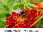 Barkhatets And Bumblebee