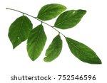 kentucky coffee bean tree leaf... | Shutterstock . vector #752546596